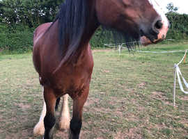 18.1hh registered shire broodmare