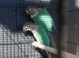 Baby Blue Conure Parrots