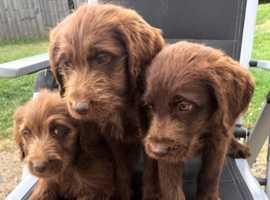 Amazing labradoodle puppies