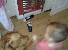 Dog de bordeux x rottweiler