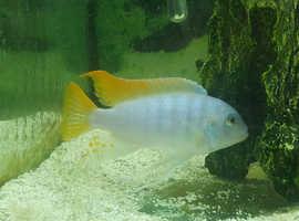 Ice blue cichlid male