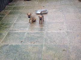 Lakeland x border terrier