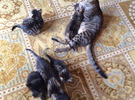 Stunning  5 Bengal kittens with lovely markings