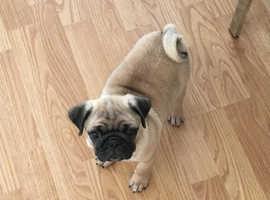 Chug puppy