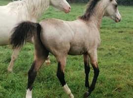 Top quality Welsh sec b colt foal