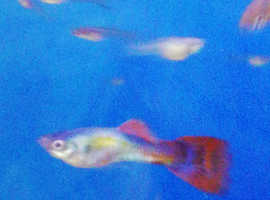 Gorgeous red and black male guppy looking for forever home