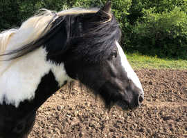 5 year old traditional cob 12.2hh