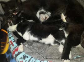 3 boys 1 girl kittens