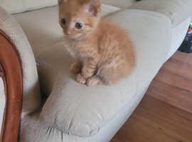 10 week ginger kitten