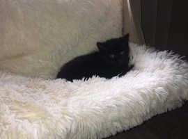 8 week old baby girl for sale