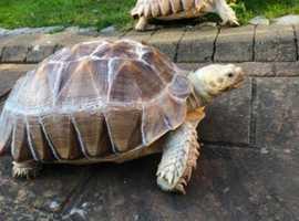 Tortoise (Sulcata) (x2)