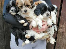 3 beautiful shipoo female puppies