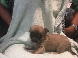 chihuahua pups long haired