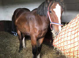 SHIRE FILLY FOR SALE