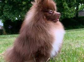 Kc registered chocolate proven Pomeranian