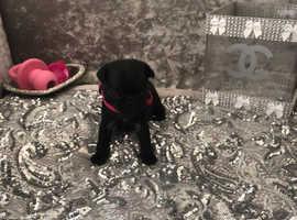 Stunning KC pug puppies available