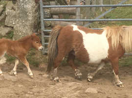 Registered Miniature Shetland Filly Foal - delivery available