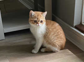 Exotic Kittens for sale in London