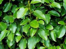 Evergreen Griselinia Littoralis Hedging Plants