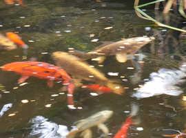 Koi & gold fish