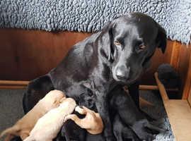 OFTW labrador puppys excellent pedigree