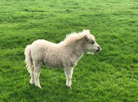 V. Well bred mini Shetland colt