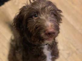 SpringerPoo Puppy