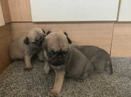 Pug puppies ready to go 21st December