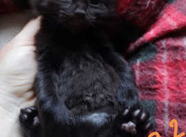 Ready now  Black/choc kitten Maine Coon X ready now