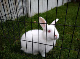 New Zealand whites baby rabbits