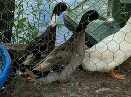 Ducks free to good home/s: Two mallard x boys