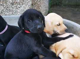 Labrador puppies available for new home