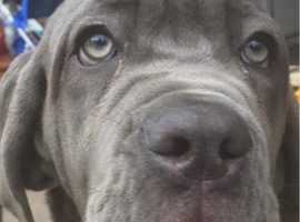 Neopolitan mastiff girl