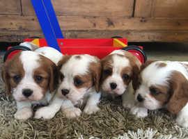 Beautiful Cavalier Puppies