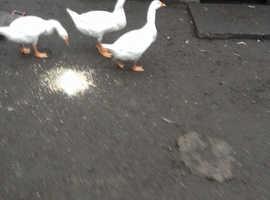 Goslings for sale