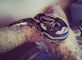 Female royal/ball python