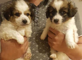 2 jackapoo male pups for sale