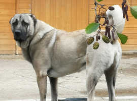 ** Pure Turkish Kangal Puppies Available **