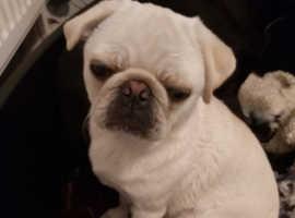 6mth old KC registered white pug