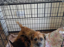 Quality border Terrier puppies small type red grizel