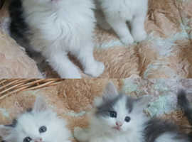 *2Left*PricesVary* Fluffy Persian ChinChilla Mixed Kittens