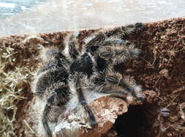 Adult curly hair tarantula
