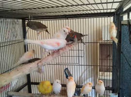 Diamorphlc canaries and zebra finches