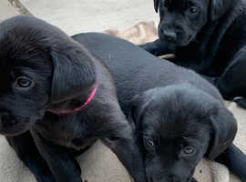 Black Labrador puppies ideal family pets