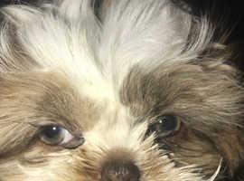 Shihtzu Girl Pup