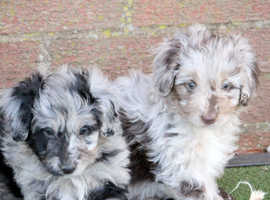 WOW factor puppies - Colloodle - Mini Poodle x Border Collie
