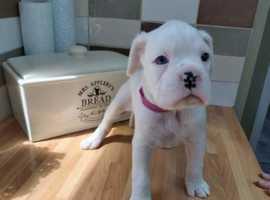 K C registered White Boxer puppy
