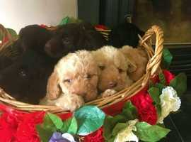 **F1 Miniature Labradoodle Puppies For Sale**