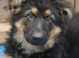 Long haired German shepherd pups