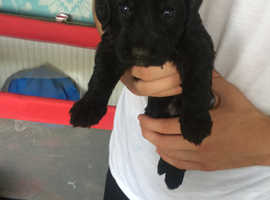 Beautiful black  cockapoo tuxedo puppies for sale